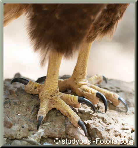 Adler Krallen